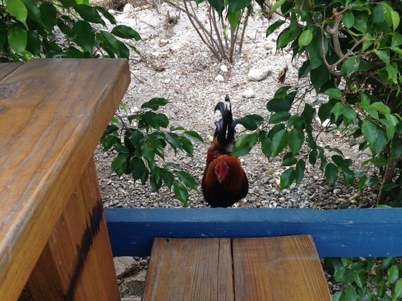 Long-Lost Real Estate Rooster Located